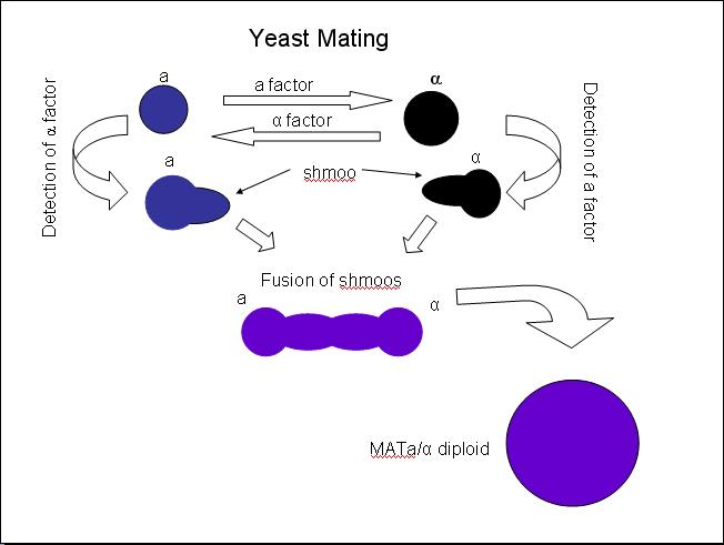 image:Yeast_Mating.JPG