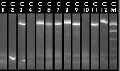 10-11 Colony PCR 13-24.jpg