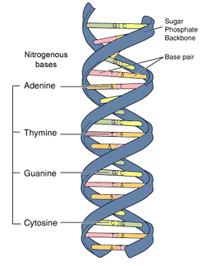File:150121lms-DNA sturcture.png