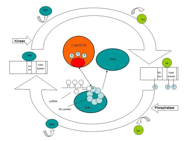 File:Coilin mechanism.jpg