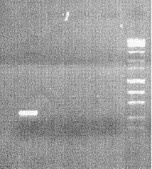 Lab 2 part 2 agarose gel.jpg