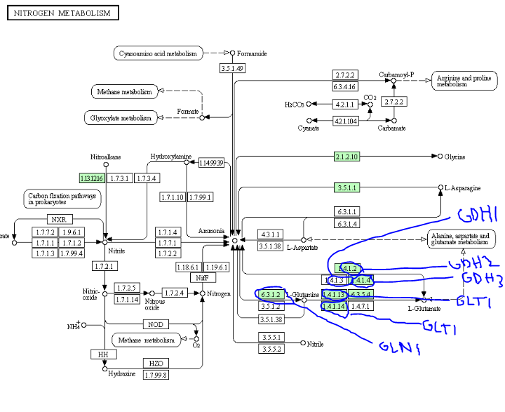 nitrogen metabolism pathway from KEGG