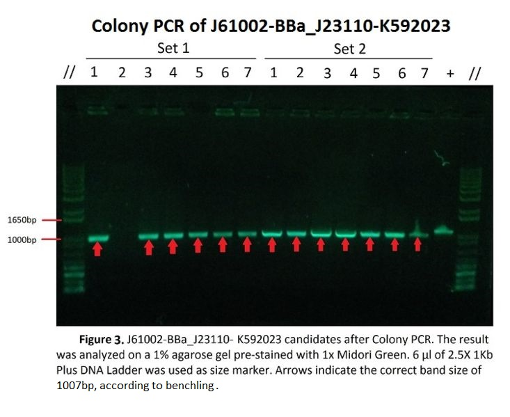724bp-Gelelectrophoresis aftercolonyPCR.jpg