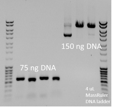 Image:75 and 150 ng DNA on a gel.jpg
