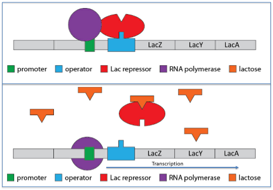 File:Lac operon background team3.PNG