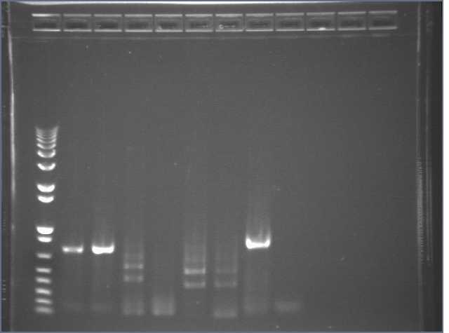 6-28-07 PT GFPmek PCR egel.jpg