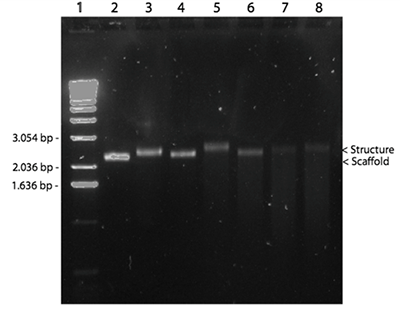 Fig. 9. 1% agarose gel containing self-assembled plate origami. 1) 1Kb DNA ladder, 2) M13 control, 3) 8 mM Mg, 1 hour ramp, 10x ss, 4) 12,5 mM Mg, 1 hour ramp, 10x ss, 5) 8 mM Mg, 3 hour ramp, 10x ss, 6) 12,5 mM Mg, 3 hour ramp, 10x ss, 7) 8 mM Mg, 5 hour ramp, 10x ss, 8) 12,5 mM Mg, 5 hour ramp, 10x ss.