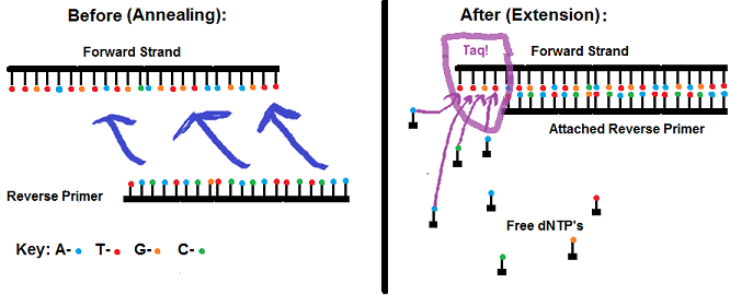SI PCR.png