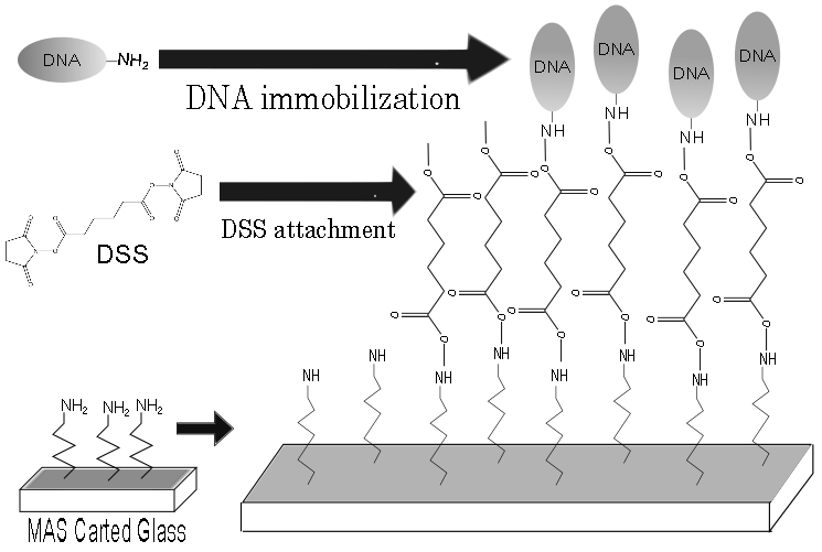File:DNAimmobilization 2.png