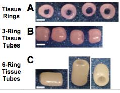 File:Tracheal cartilage rings Dikina.png