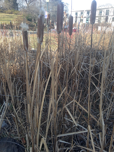 File:Cattail.png