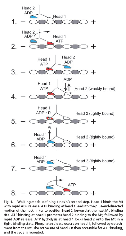 This is a pretty simple looking model. Maybe I can use this one. Kinesin's Second Step by Lisa M. Klumpp, Andreas Hoenger, and Susan P. Gilbert 2003
