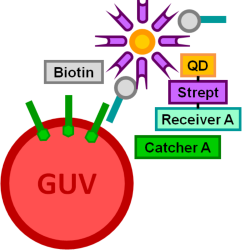 File:BM12 nanosaurs Quantum dot 625-Streptavidin as target species s.png