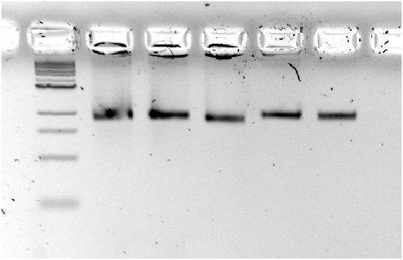 File:20110819 sc8634 phagen.JPG