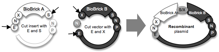 Haynes BioBrickAssembly1.png
