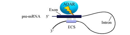 File:ADAR editosome.png