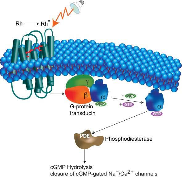 File:CH391Lrhodopsin.jpg