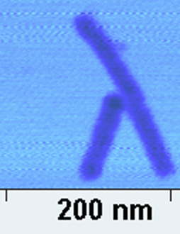 File:Figure 20.2-AFM image of NClaw.png