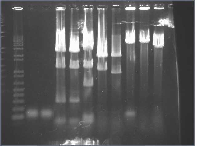 6-25-07 PT gel SYBR gold.jpg