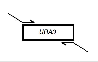 File:Macintosh HD-Users-nkuldell-Desktop-URA3primerdesign.png