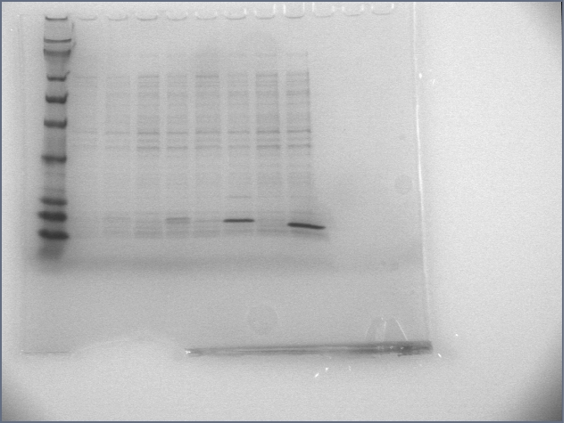 Image:6-22-07 overexpression gel.jpg