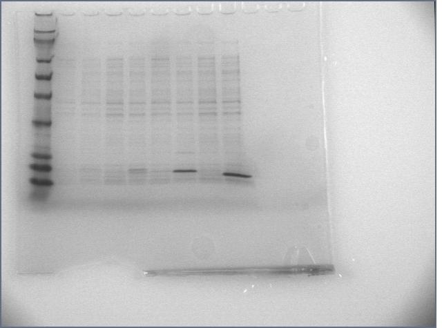 File:6-22-07 overexpression gel.jpg