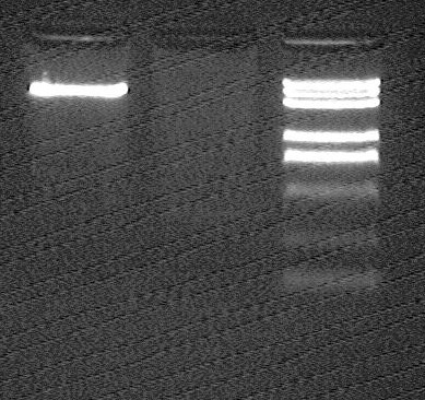 File:Peking 2007-8-4 OriTpSB1A2 vector J23066 fragment after gel extraction.jpg