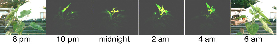 Figure 4.  The apex of a sunflower plant re-orients during the night so that it is facing east well before sunrise.   Images were acquired at 30-minute intervals using a consumer camera and a dim solar-powered light.  Unpublished, S. Harmer.