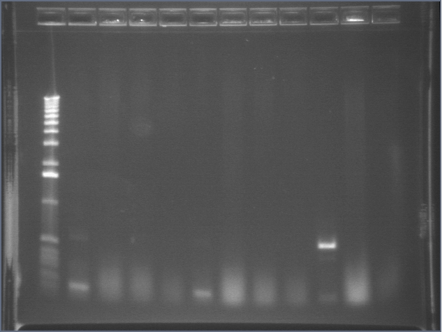 8-17 PCR gel 1 MXHTA.jpg
