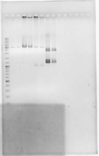 File:Dramirez doubledigestion E0422 E0430 I20260 J04450.jpg