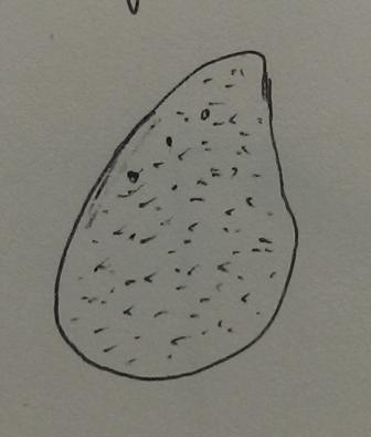 File:Ashlee Forbes - Paramecium Drawing.jpg
