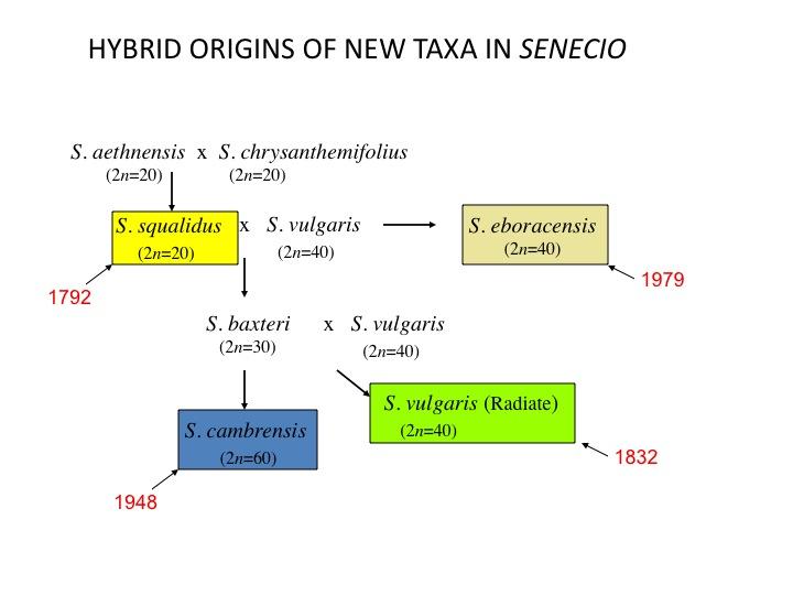 File:Hybrid Senecio.jpg