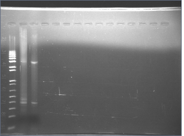 File:Cyano KaiABC PCR2 7-11-06.jpg
