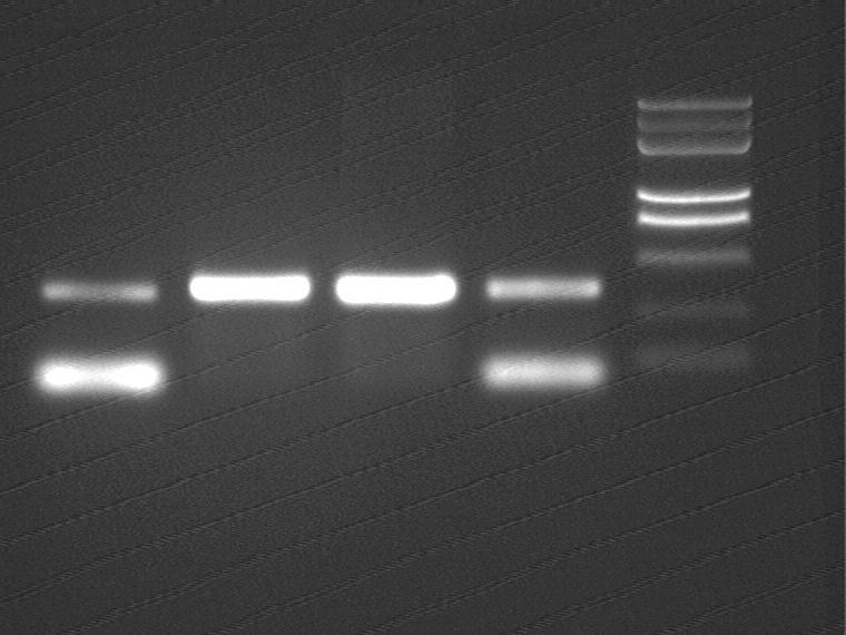 Peking 2007-7-31 PCR OriT T51 37 30 T55 37 30(2).jpg