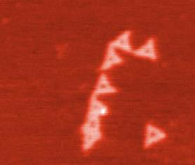 Fig: 1 AFM image of DNA origami modified with one biotin at each corner of the triangle. An anti-biotin antibody was added and cross-linking of the DNA origami is observed.