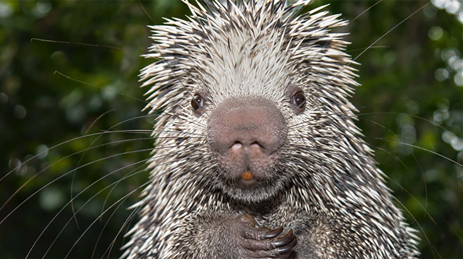 porcupine asian personals Porcupine quills have recently inspired a new type of hypodermic needle due to backward-facing barbs on the quills, when used as needles, they are particularly good at two things – penetrating the skin and remaining in place.