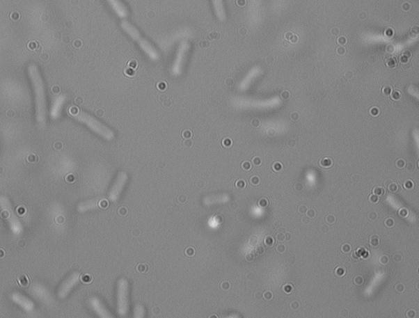 File:Spinning e coli.JPG