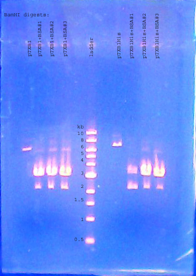 File:DNA gel 110720 annotated.jpg