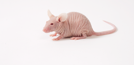 File:NudeMouse.png