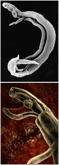 File:Schistosoma2.png