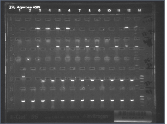 10-11 Colony PCR MXHTA.jpg