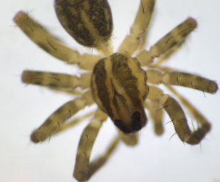 File:Arachnid1.PNG