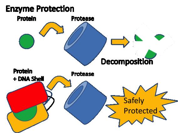 File:Biomod-2012-utokyo-uthongo-Enzyme-protection.png