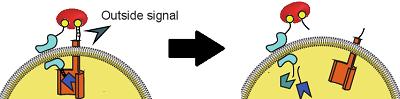 File:Receptormechanism.png