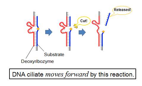 Deoxyribozyme-substrate reaction.png