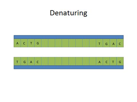 Denaturing Dna.jpg