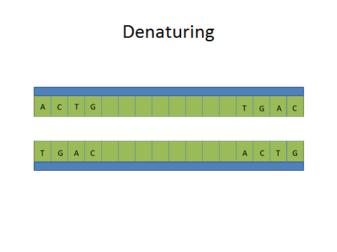 File:Denaturing Dna.jpg