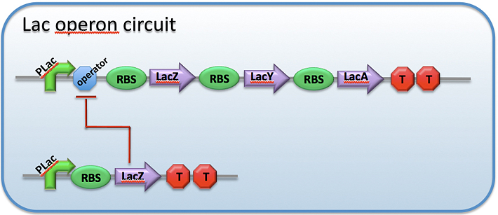 Image:CH391L S12 Protein regulators of transcription lac circuit.png