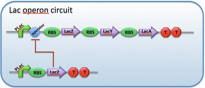 File:CH391L S12 Protein regulators of transcription lac circuit.png