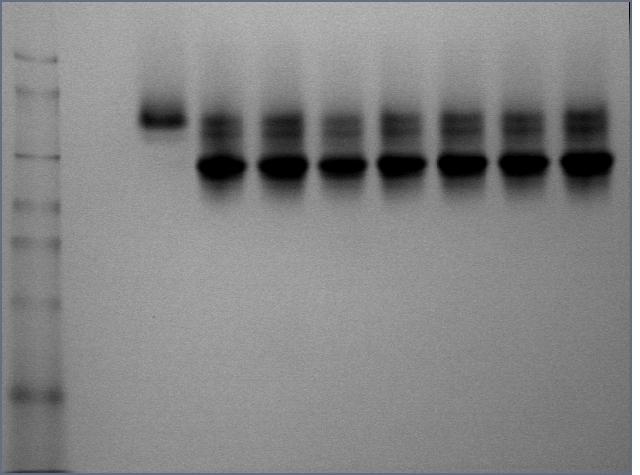 File:Cst809Proteinelution.jpg